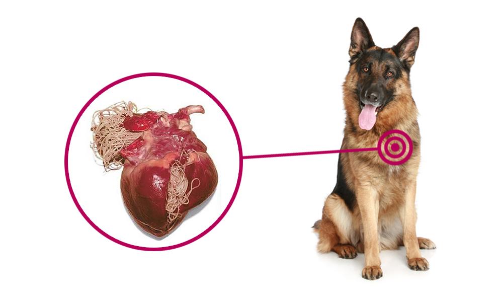 el gusano del corazón